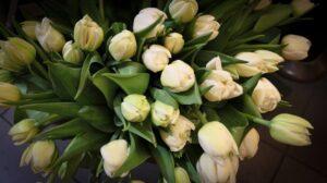 zdjęcie tulipanów